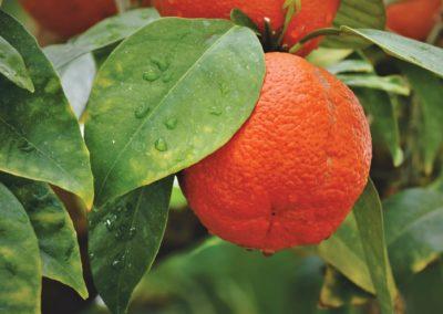 Orange – Origanum